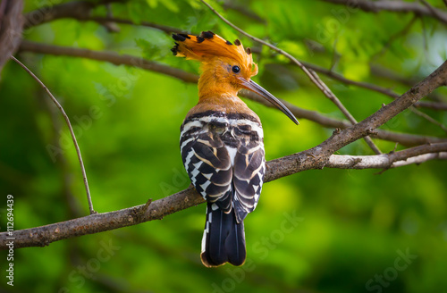 Close up of Portrait of Hoopoe (Upupa epops)  in real nature in Thailand Canvas Print