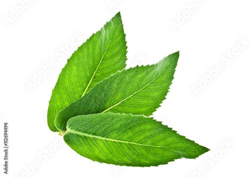 Fototapeta Fresh melissa leaves isolated on a white background obraz na płótnie
