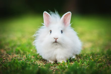 Little White Angora Rabbit Wal...