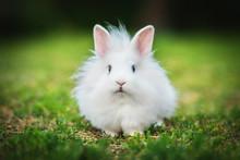 Little White Angora Rabbit Walking Outdoors In Summer