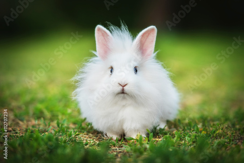 Little white angora rabbit walking outdoors in summer Canvas Print