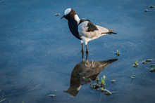 Blacksmith Plover Reflected In Shallows With Plants