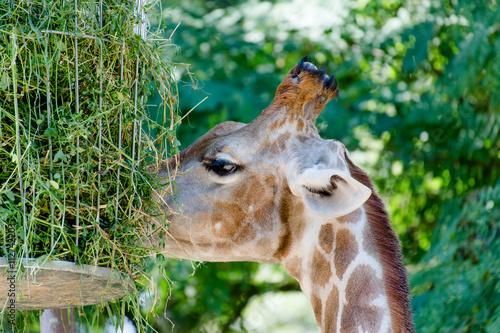 Fressende Giraffe in Nahaufnahme Poster