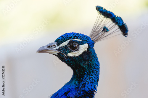 Fotografie, Obraz  Blauer Pfau in Nahaufnahme