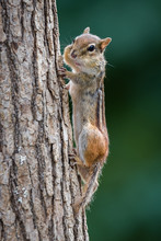 Chipmunk On Tree Trunk With Pu...