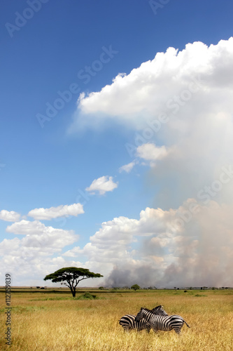 African zebras on a background of beautiful clouds in the savann