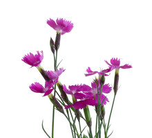 Little Pink Carnations, Isolat...
