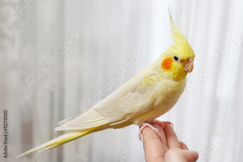 Vászonkép Yellow cockatiel on a female finger, close up
