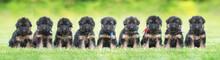 Litter Of Nine German Shepherd...