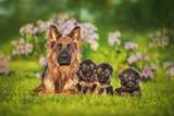 Fototapeta Fototapety na ścianę do pokoju dziecięcego - Family of german shepherd dogs