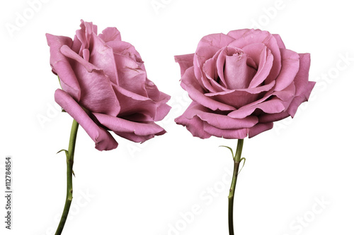 Two roses against plain background