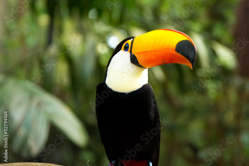 In de dag Toekan Toucan bird on the nature in Foz do Iguacu, Brazil
