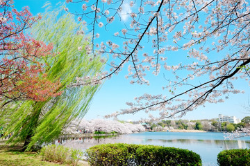 Panel SzklanyBeautiful scenery with red leaf, green willow, blossom sakura, clear pond and bright vivid blue sky in spring cherry blossom season, Tokyo, Japan