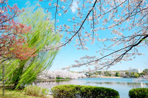 Beautiful scenery with red leaf, green willow, blossom sakura, clear pond and bright vivid blue sky in spring cherry blossom season, Tokyo, Japan - 112804686