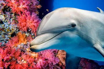 dolphin underwater on reef ...