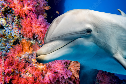 Poster Sous-marin dolphin underwater on reef close up look