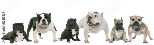 group of american bully Canvas Print