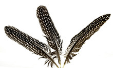 Three  Black And White Spotted  Guinea Fowl Feathers