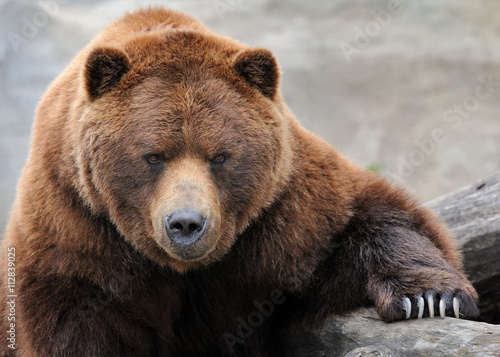Photo  Grizzly bear portrait
