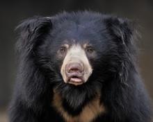 Sloth Bear (Ursus Ursinus) Por...