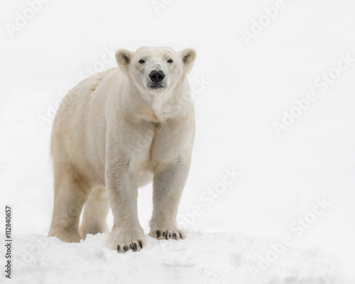 Wall Murals Polar bear Female polar bear (Ursus maritimus) standing in the snow