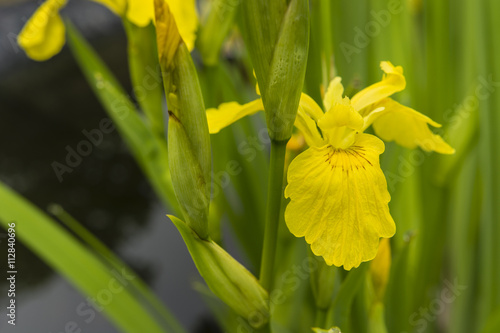 In de dag Narcis yellow iris flower water