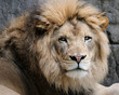 Male African lion (panthera leo)