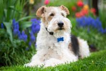 Wire Fox Terrier In The Spring Garden