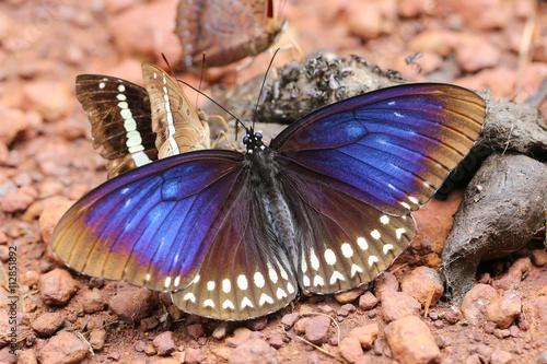 Foto op Plexiglas Stenen in het Zand butterfly eating feces on the floor