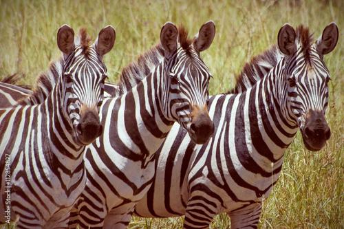 Zebras in africa national park