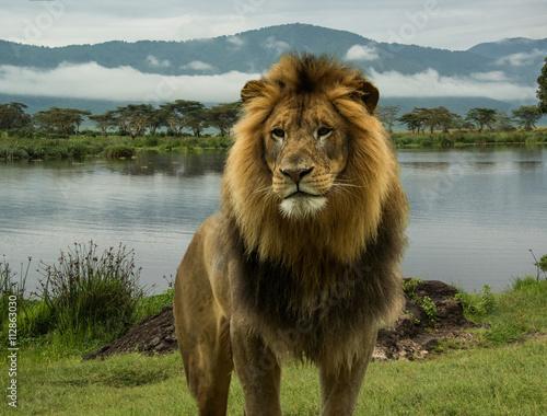 Zdjęcie XXL Wielki Afrykański męski lew w Serengeti, Afryka