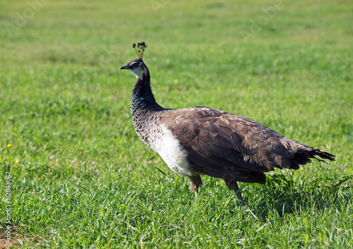 Beautiful Young Peahen On A Green Grass Buy This Stock