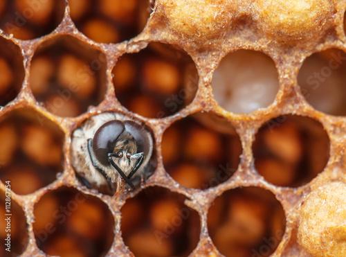 Fotografía  young bee in the comb