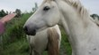 View of two white camargue horses in the Isonzo river mouth. Italy