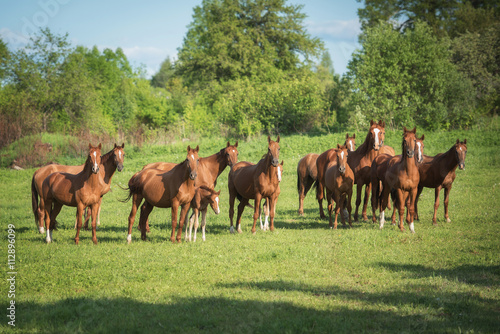 Big herd of don breed horses with foals on the pasture in summer