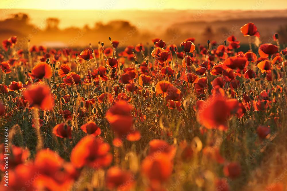 Fototapety, obrazy: Czerwone pole maków o zachodzie słońca