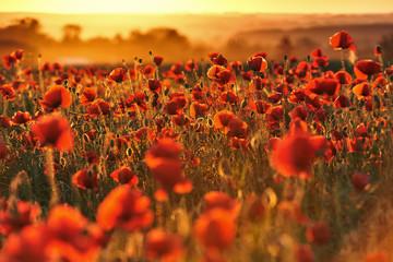 Fototapeta na wymiar Czerwone pole maków o zachodzie słońca