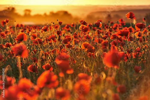 obraz dibond Czerwone pole maków o zachodzie słońca