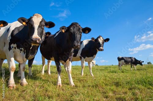 Papiers peints Vache Vache en pâture