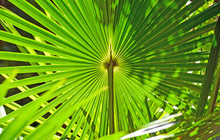 Backlit Fan Shaped Leaves Of T...