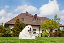 Big Guard Dog Resting In Front Of The House. Polish Tatra Sheepdog