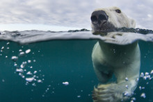 Canada, Nunavut Territory, Repulse Bay, Underwater View Of Polar Bear (Ursus Maritimus) Swimming In Hudson Bay Near Harbour Islands