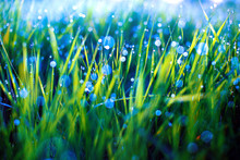 Green Grass With Dew Drops And Blue Bokeh. Morning Dew On Grass. Blurred Background