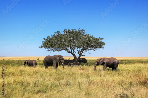 African elephants and a lone tree in the savannah