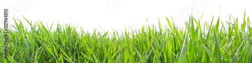 Fototapeta Grass in high definition isolated on a white background obraz