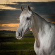 Portrait of grey mare