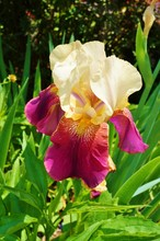 Close Up Of A Purple And Yellow Bearded Iris Flower In Bloom