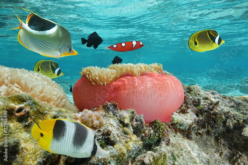 Foto op Aluminium Flamingo Colorful fishes with a sea anemone underwater in the lagoon, Pacific ocean, French Polynesia