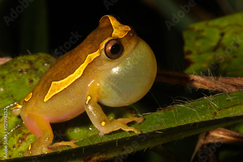 Tuinposter Kikker Dendropsophus leucophyllatus is a species of frog in the Hylidae family. It is found in the Amazon Basin.