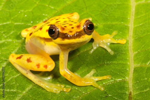 Tuinposter Kikker Dendropsophus rhodopeplus is a species of frog in the Hylidae family.